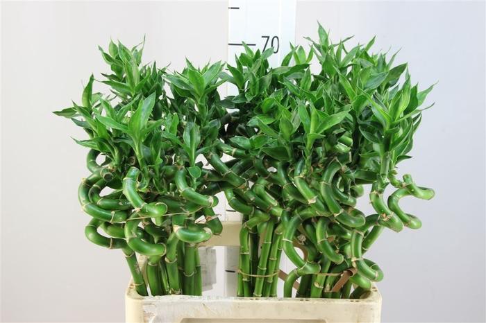 <h4>Lucky Bamboo Spiraal 60</h4>