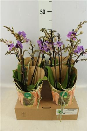 <h4>PHALAENOPSIS ...LILAC VIOLET QUEEN</h4>