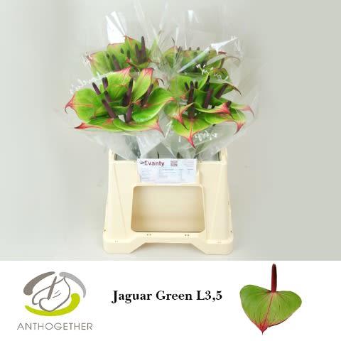 <h4>ANTH JAGUAR GREEN 40 L3,5.</h4>