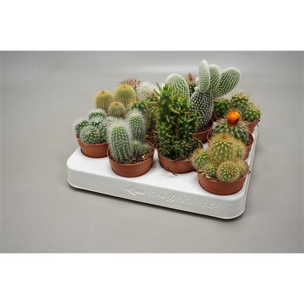 <h4>Cactus gemengd Cactus</h4>