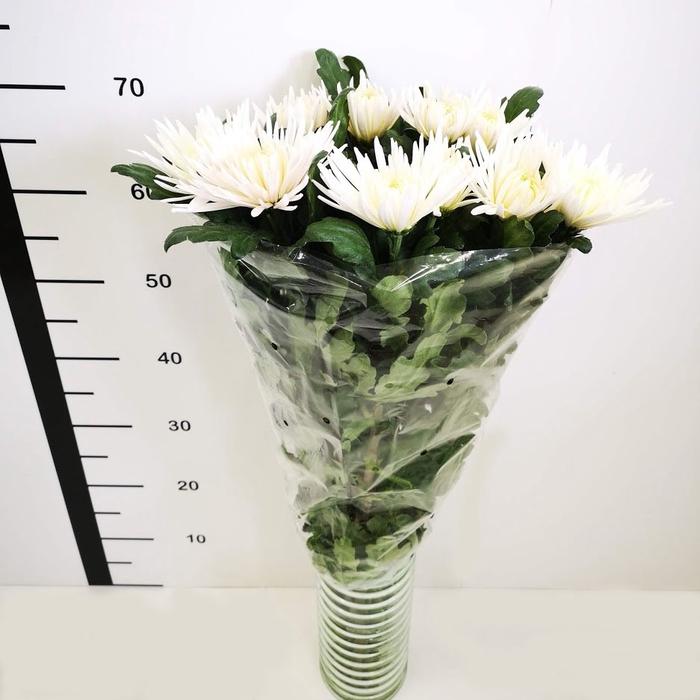 Chrysanthemum monoflor anastasia blanca