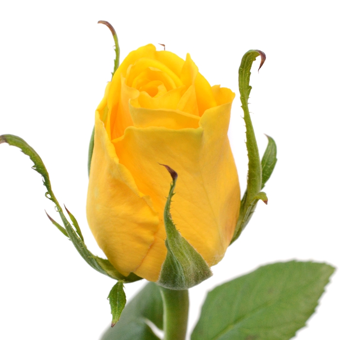 <h4>Rose Moon Walk</h4>