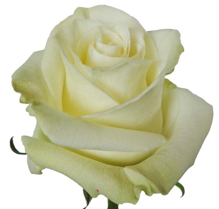 <h4>Rosa gr Mondial (Nevado)</h4>