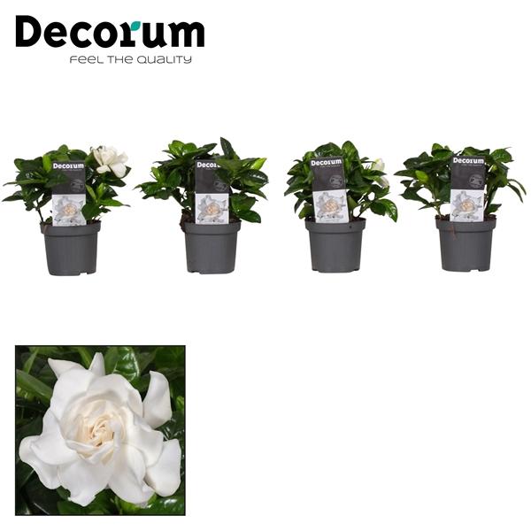 <h4>Gardenia Decorum</h4>