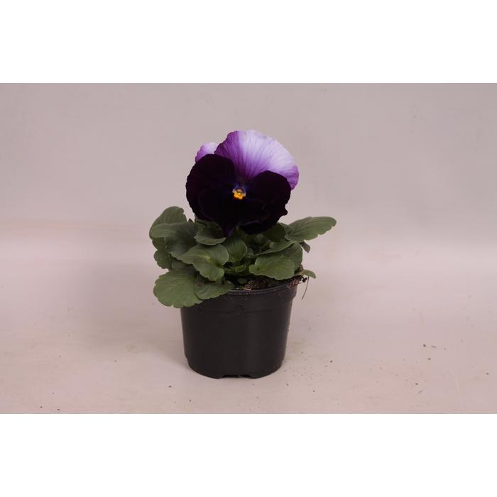 <h4>Viola wittrockiana F1 Beaconsfield</h4>