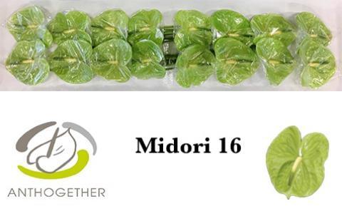 <h4>Anthurium Midori</h4>
