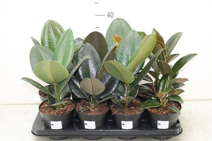 <h4>Ficus Gemengd Elastica</h4>