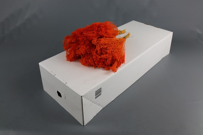 <h4>Genista bloei gedroogd Oranje</h4>