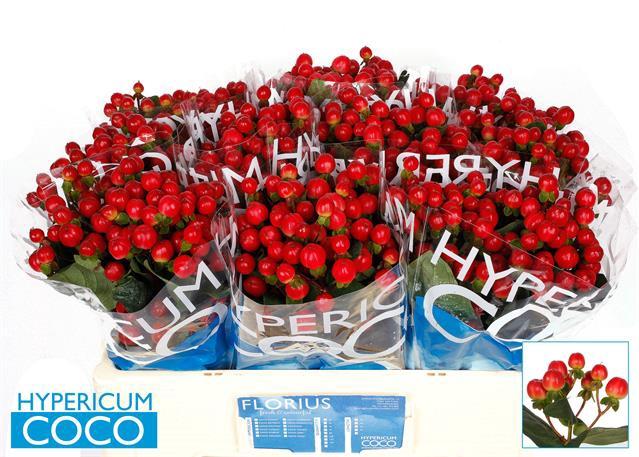 <h4>HYP COCO TANGO</h4>
