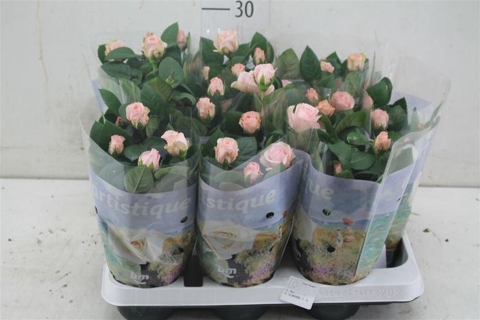 <h4>Rosa Artistique Light Pink</h4>