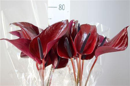 <h4>Anthurium A Anouk</h4>
