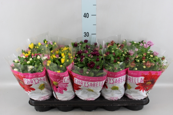 <h4>Chrysanthemum    ..mix 7</h4>