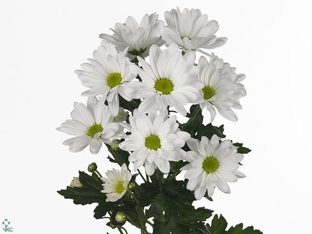 Chrysanthemum spray bacardi blanca
