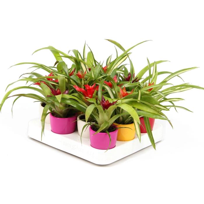 <h4>Arrangementen Bromelia</h4>