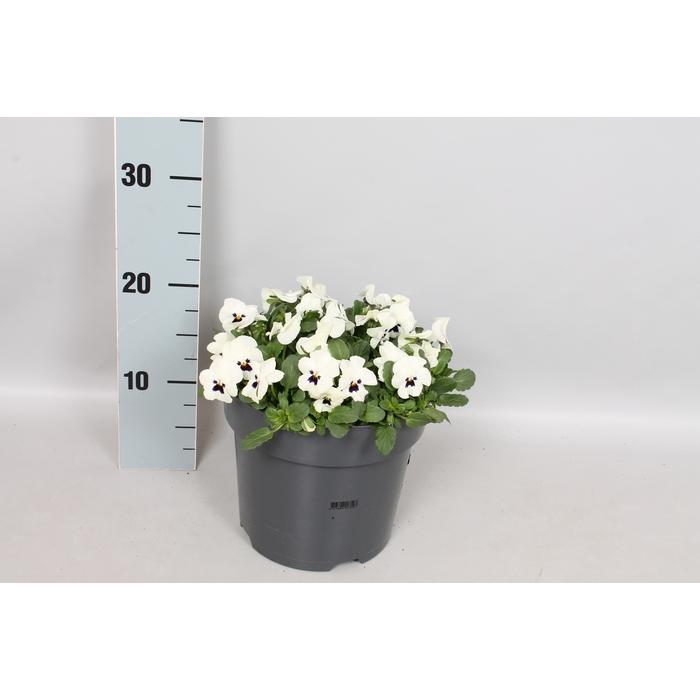 <h4>Viola cornuta 19 cm White with blotch</h4>