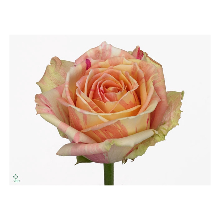 <h4>Rosa Gr. Fiesta+</h4>