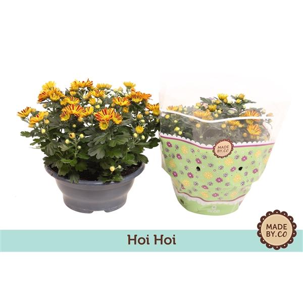 <h4>Chrysanthemum Hoihoi</h4>
