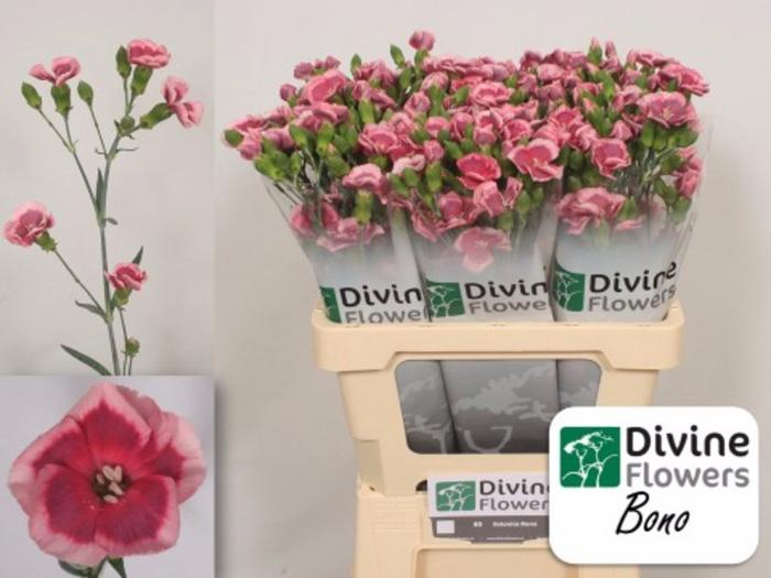 <h4>Dianthus Solomio Bono</h4>