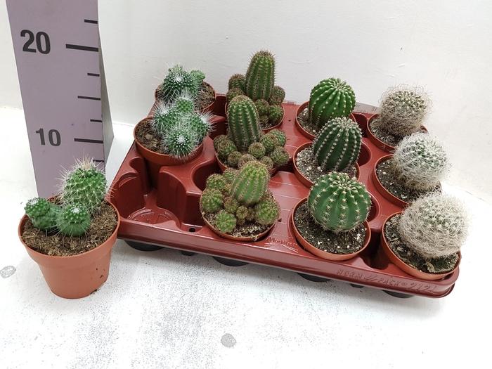 <h4>Cactus mix 8,5Ø 5cm</h4>