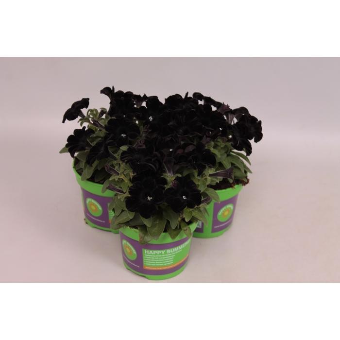 <h4>Petunia FP Select Black Ray</h4>
