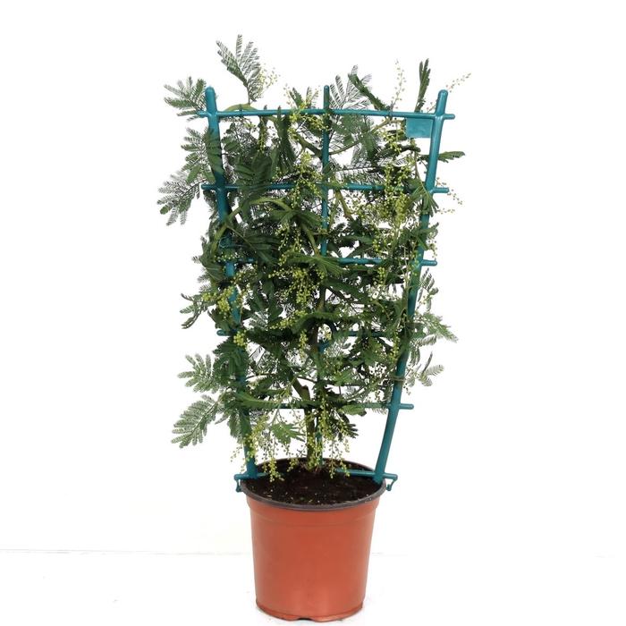<h4>Acacia Mimosa Daelbata Trellis</h4>