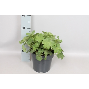vaste planten 19 cm  Alchemilla mollis Irish Silk