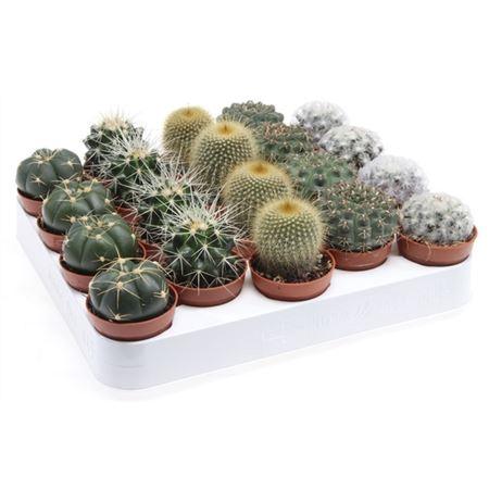 <h4>Cactus Gemengd Bol</h4>