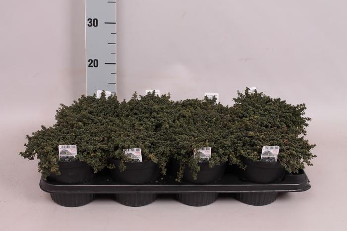 Kruiden I Thymus (tijm bont)
