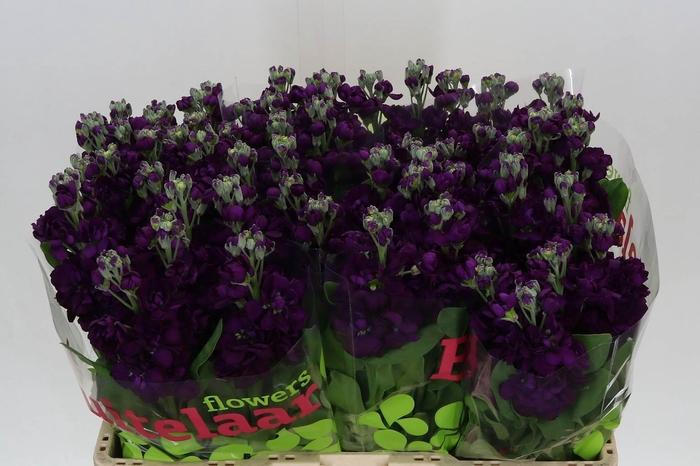 <h4>Violier Aida Purple</h4>