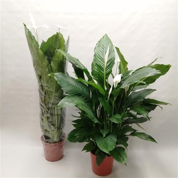 <h4>Spathiphyllum 'Sweet Sebastiano 27 cm' ASP</h4>