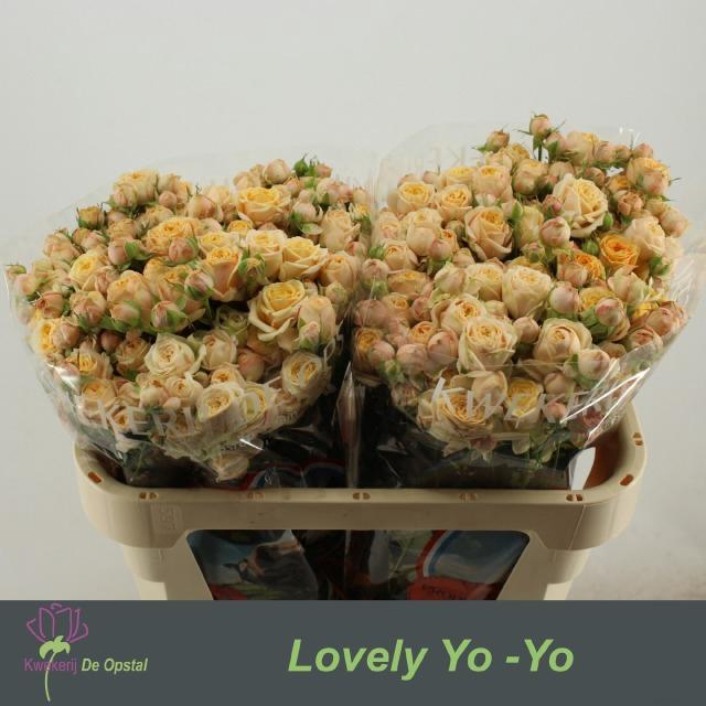 <h4>R TR LOVELY YO-YO</h4>