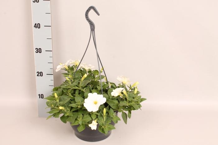 Hangpot 23 cm Petunia White