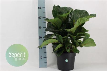 <h4>Ficus Ov Lyrata Bambino</h4>