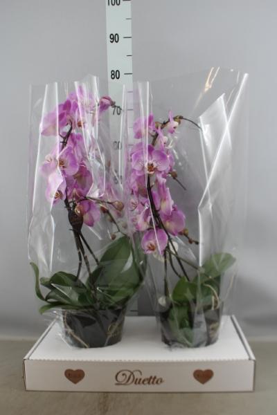 <h4>Phalaenopsis  'Jillion'</h4>