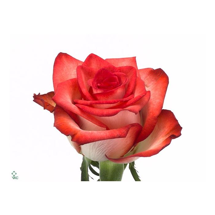 <h4>单头玫瑰 胭脂红</h4>