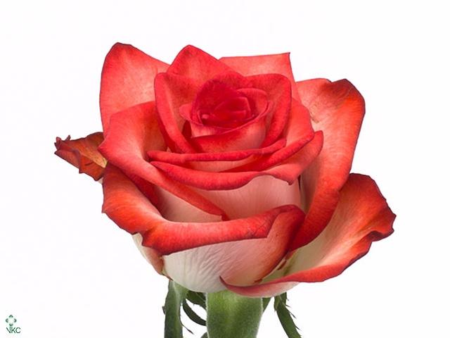 <h4>Rosa gr Blush (Nevado)</h4>