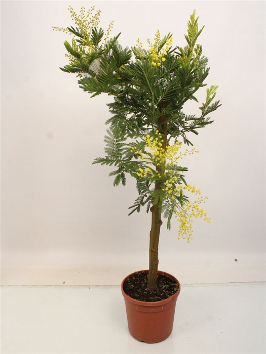 <h4>Acacia Mimosa Daelbata Stem Thick</h4>