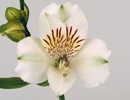 <h4>Alstroemeria blanca select (BENCHMARCK)</h4>