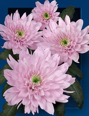 Chrysanthemum spray euro rosa