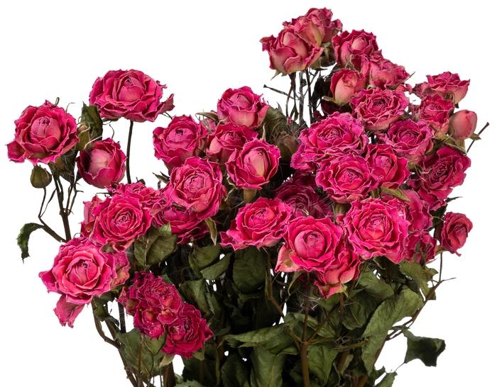 <h4>Dried Rosa tros Odilia</h4>