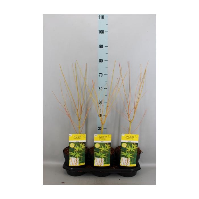 <h4>Acer palmatum</h4>