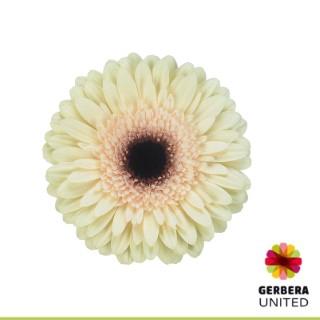 <h4>Gerbera Eclair</h4>