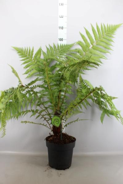 <h4>Dicksonia antarctica</h4>