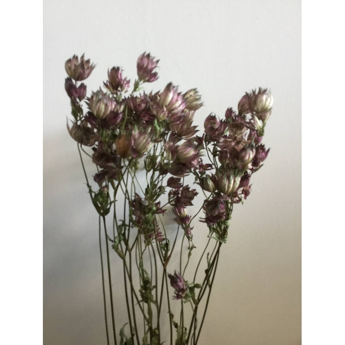 <h4>DRIED FLOWERS - ASTRANTIA PINK 10PCS</h4>