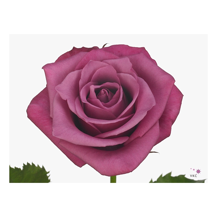 <h4>Rosa Gr.Shogun</h4>