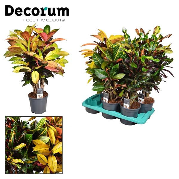 <h4>Croton vertakt gemengd 2-3 soorten (Decorum)</h4>
