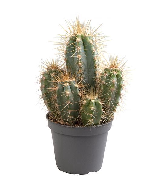 <h4>Pilosocereus Azureus 6Ø 15cm</h4>