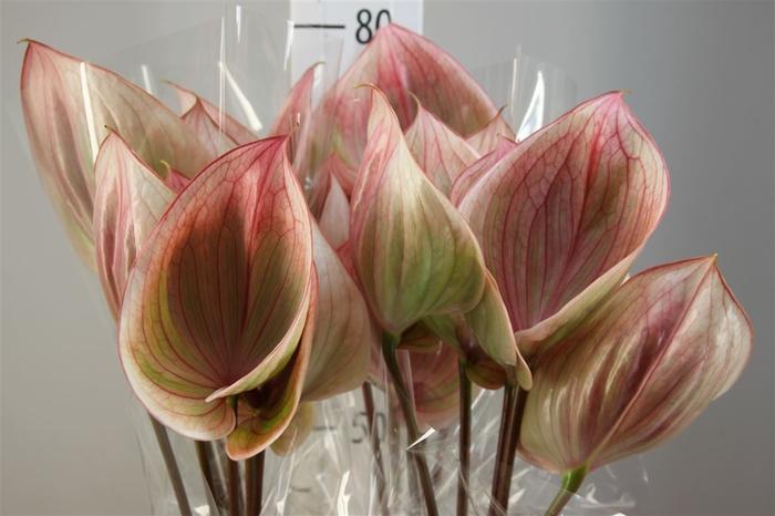 <h4>Anthurium A Scoop</h4>