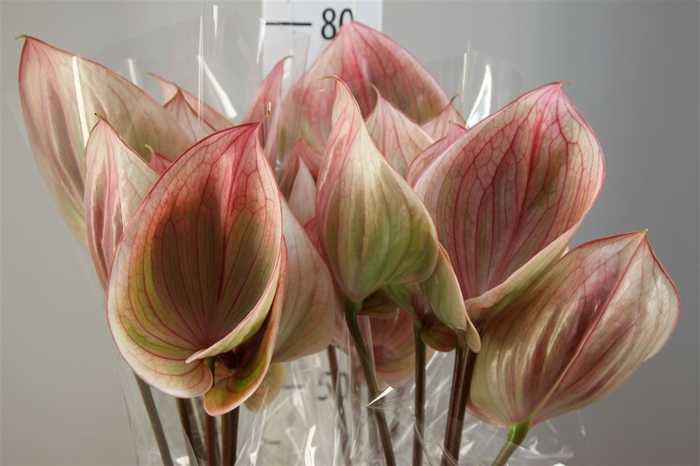 <h4>Anthurium A Scoop</h4>
