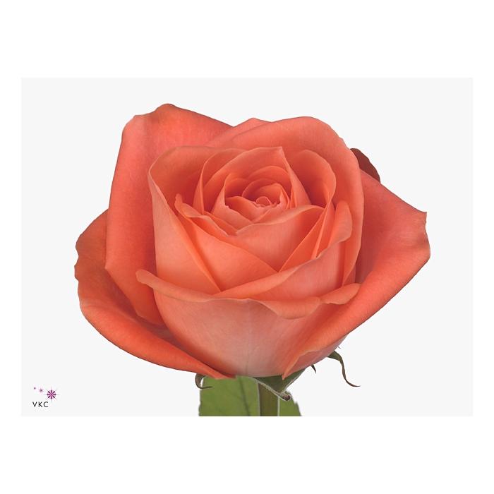 <h4>Rosa Gr. Giardina</h4>